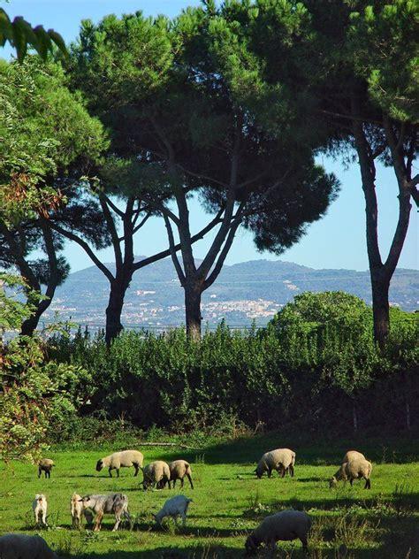 italian pine tree 117 best images about pinus pinea fıstık 199 amı on 7609