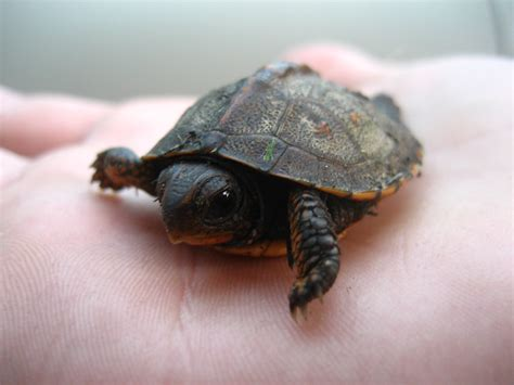 heat ls for baby turtles baby turtles