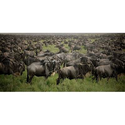 East Africa's Wildebeest Migration Made Simple l Ultimate