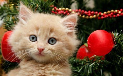 sweet  darling christmas animals  christmas kittens