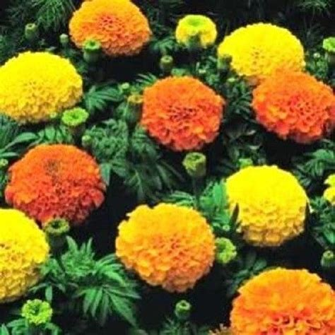 250 African Marigold Crackerjack Mixed Color Tagetes