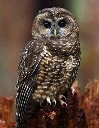 Image result for images spotted owl