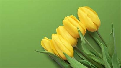Yellow Tulips 4k Wallpapers Tulip Background 2160
