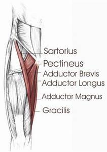 Hip Adductors – applecool.info