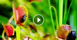 Le Uv Plante Carnivore by Cette Vid 233 O Qui D 233 Voile L Intimit 233 Des Plantes Carnivores