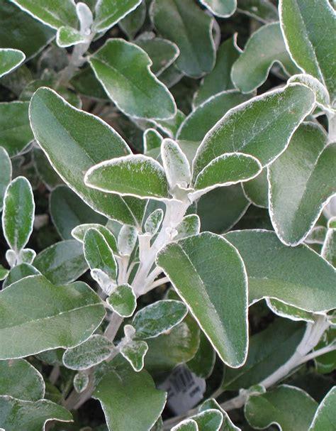 Senecio Greyii Beautiful Soft Greygreen Leaves, Slow