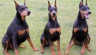 top 10 most amazing facts about doberman pinschers