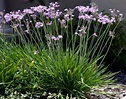 Ailyns-Pond Live Lavender Flowering Society Garlic Water ...