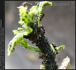 lause hibiskus pflanzen fur nassen boden With garten planen mit fliegen zimmerpflanzen bekämpfen