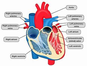 Does Your Heart Stop When You Sneeze   U00bb Science Abc