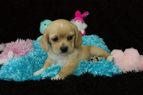 Lacey Peagle Rockin R Puppies