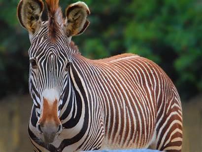 Zebra Wallpapers Pack Desktop Laptop Animal Fetch