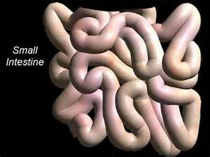 2a Digestion Small Intestine