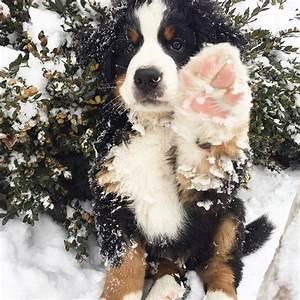 1000+ ideas about Bernese Mountain Dogs on Pinterest ...