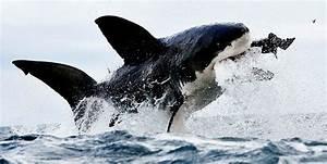 El gran tiburón blanco Epets