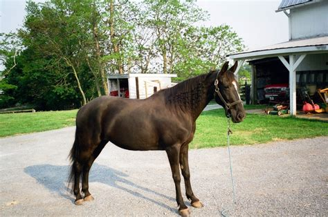 horse breeds horses most popular walker breed december flickr tennessee 18th century during commons posted 1358 2048 pro wideopenpets morgue