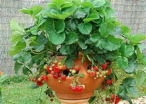 planter des framboisiers en pot les 45 meilleures images 224 propos de jardinage sur jardins jardinage en pots et