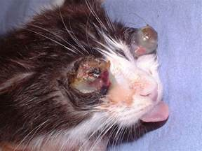cat herpes feline herpesvirus disease from vetstream definitive