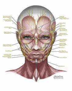 Image Result For Nerve Structure For Botox