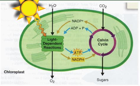 Where In The Chloroplast Do The Light Reactions Occur by Photosynthesis Welcome To Biology