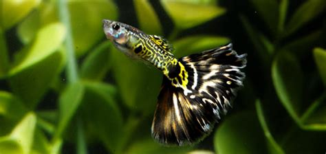 fische kleines aquarium guppy platy und molly tierische tipps