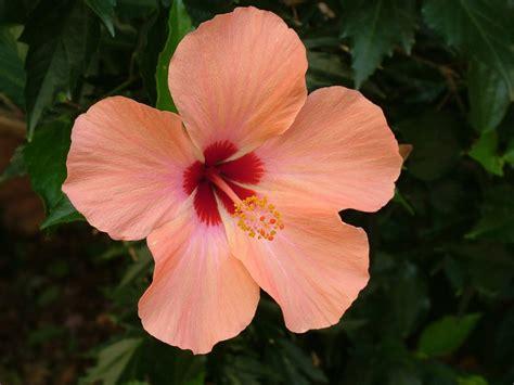 hibiscus entretien hibiscus conseils entretien rempotage et floraison