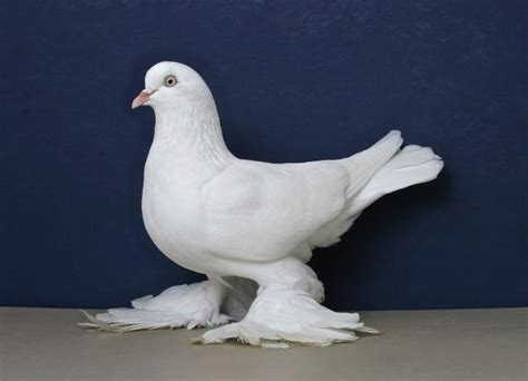 ontario national pigeon show  rare california stop press enterprise