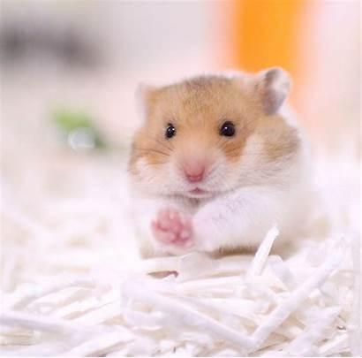Hamster Hamsters Kleurplaat Breeds Dahyun Most Popular