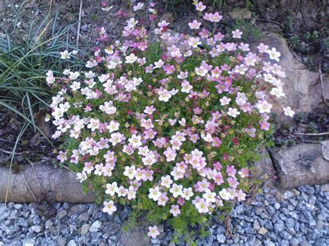 flowers for rockery my fav rockery plant rockery pinterest