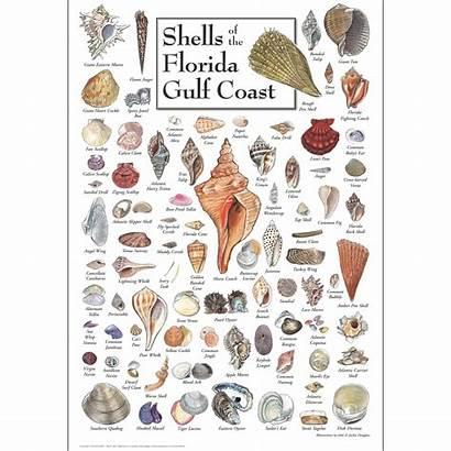 Shells Florida Gulf Coast Poster Water Seashell