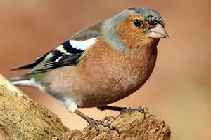Vogel Mit Roter Brust : farbenfroh gartenvogelportr t buchfink nabu ~ Eleganceandgraceweddings.com Haus und Dekorationen