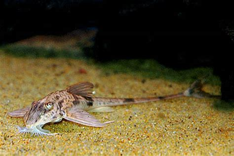 loricaria simillima marbled whiptail  fish