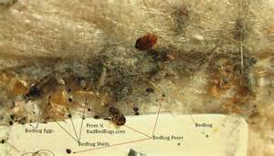 What Does Bed Bug Eggs Look Like