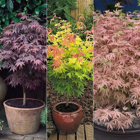 47 best japanese maples in containers images on japanese maple leaves and autumn leaves