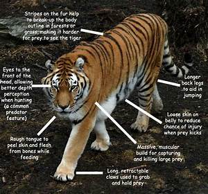 Siberian  Amur  Tiger  Do You Know