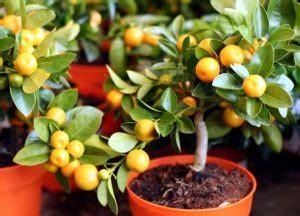 arbres fruitiers en pots trotteur le de toutes vos humeurs