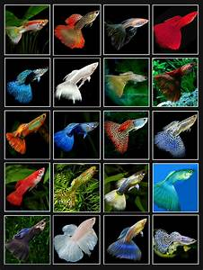 Guppy colors | Tanked! | Pinterest | Guppy, Aquariums and Fish