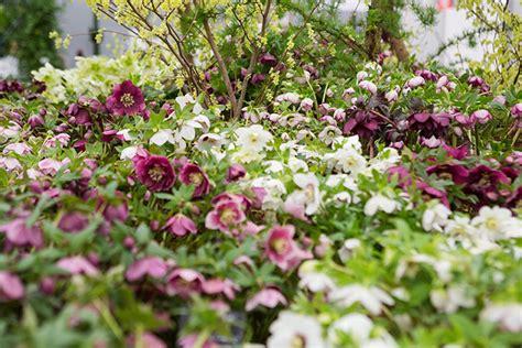 helleborus nurseries canada miraculous hellebores at chelsea the garden