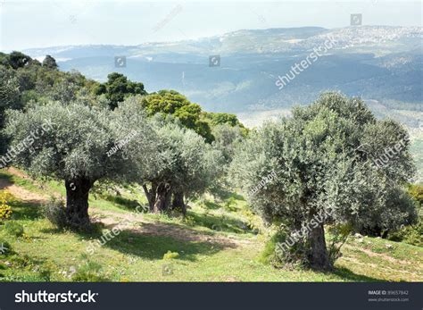 olive garden mountain olive trees garden cloudy afternoon stock photo