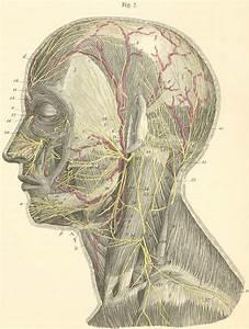 Great Auricular Nerve