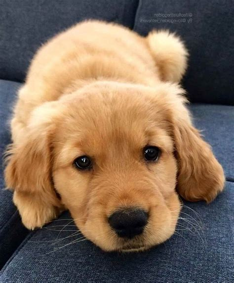 Baby Golden Retriever Dogs Cute Puppies Cute Dogs