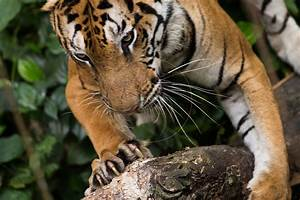 A Photographer's View: Orange Bengal Tiger at Singapore Zoo