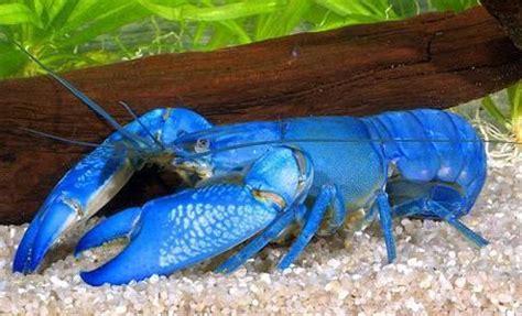 l encyclop 233 die des crevettes d eau douce aquarium shrimp cancer th
