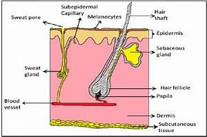 Schematic Representation Of Skin Layer