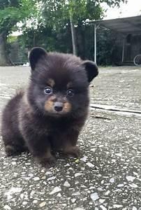 Puppy Cut Black Pomeranian | www.pixshark.com - Images ...