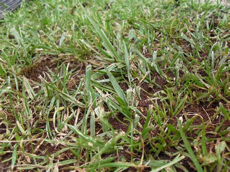 Fertilizing Lawns With Coffee Grounds