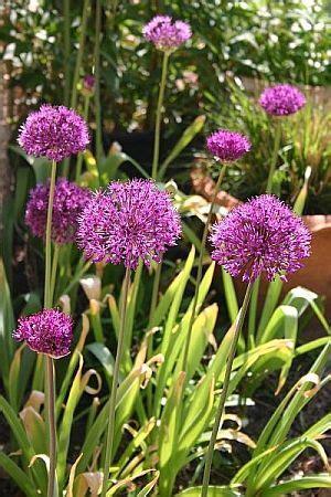 wann pflanzt tulpen wann welche blumenzwiebeln pflanzt blumenlauch allium sommerbl 252 aus blumenzwiebeln