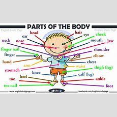 Parts Of Human Body  English Study Page
