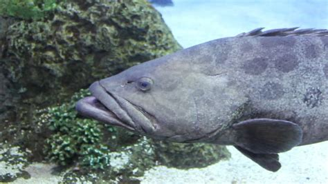 grouper fish swimming spotted water hd shutterstock footage underwater