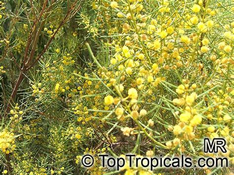 acacia catalog tropical plant catalog toptropicals com